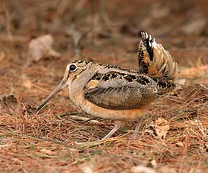 About the American Woodcock